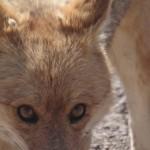 Fuchs im Altiplano