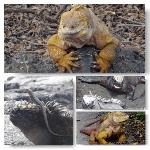 Land und Marine Iguanas Galapagos