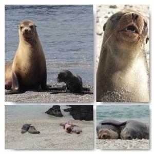 Seehunde Galapagos