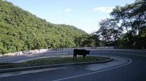 Kuh am Strassenrand