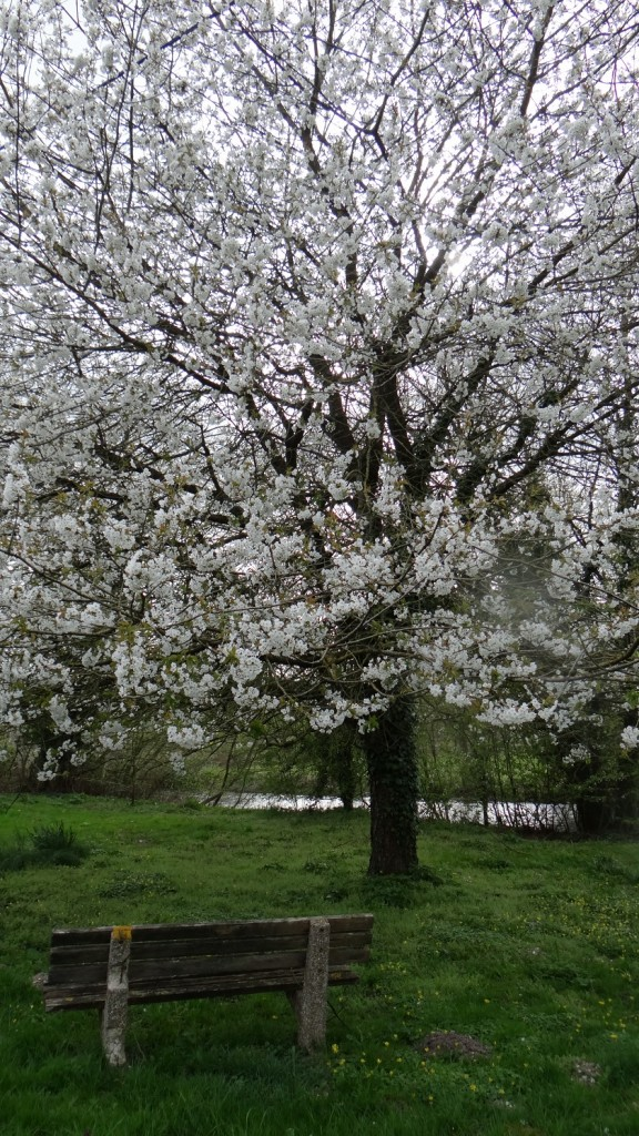 Kirschbaumblüte in England 2015